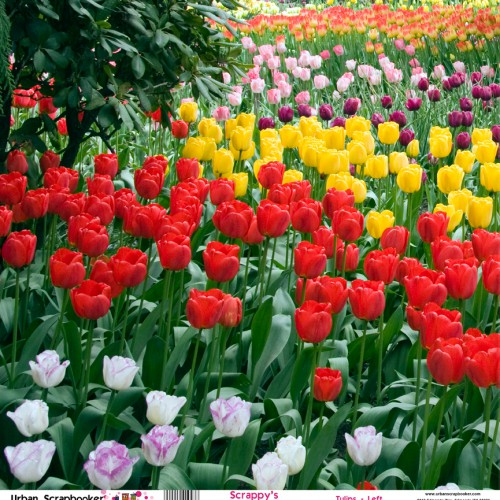 Northwest Tulips Garden View Left  Scrapbook Paper 12 x 12 inch