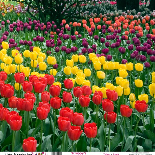 Northwest Tulips Garden View Right  Scrapbook Paper 12 x 12 inch