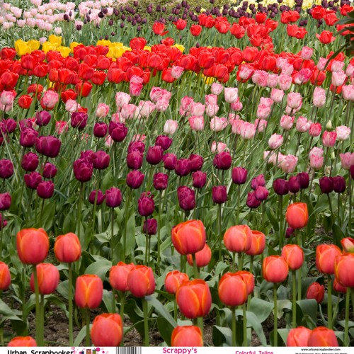Washington Colorful Tulips  Scrapbook Paper 12 x 12 inch